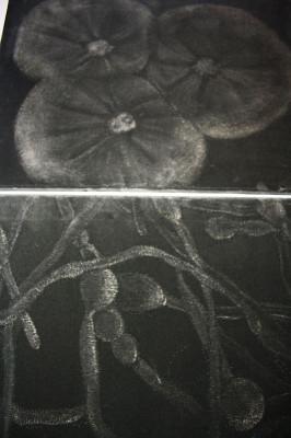 """Serie  """"Fungi"""""""